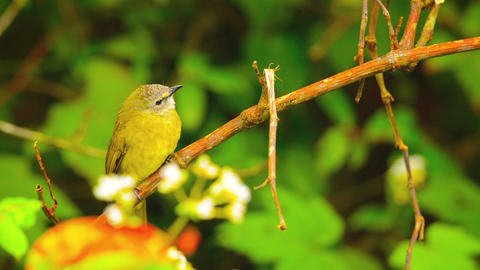 Oriental White Eye Bird Near Chiang Mai. Thailand stock footage
