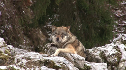 European Gray Wolf (Canis Lupus Lupus) stock footage