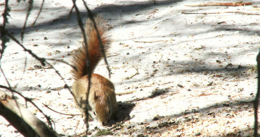 Red Squirrel Eating Nuts In Winter stock footage