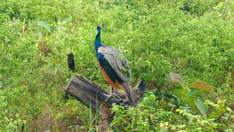 peacock sitting on branch in Sri Lanka Footage