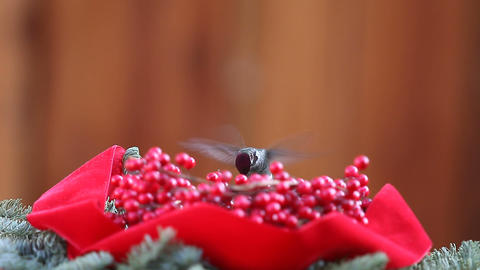 hummingbird with Christmas berries Footage