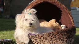 Maltese dog posing Footage