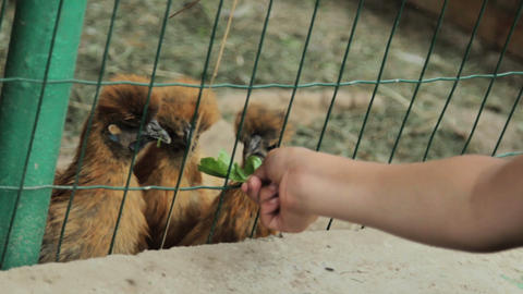 Children Feed Chiken In Cage stock footage