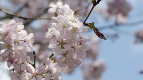 Branches Of The Pink Japanese Oriental Cherry Sakura Close Up stock footage