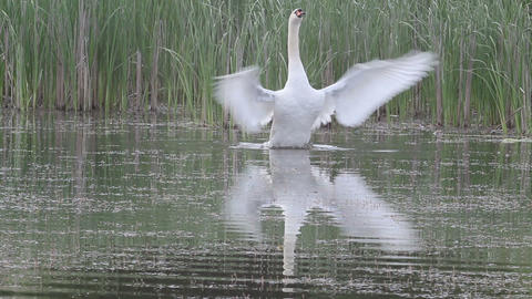Swan On A Pond stock footage