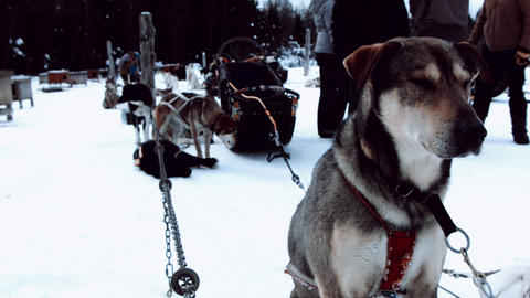 Sled Dog Waiting For Next Ride Patiently stock footage
