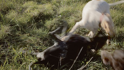 Dogs Playfighting With Audio stock footage