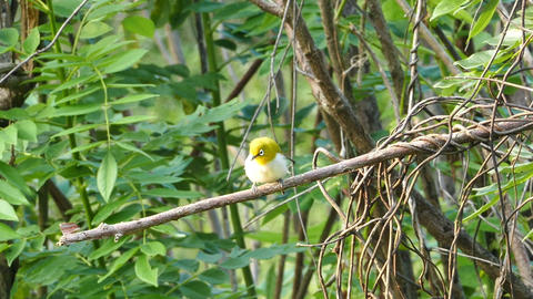 Oriental White-eye Bird (Zosterops Palpebrosus) stock footage