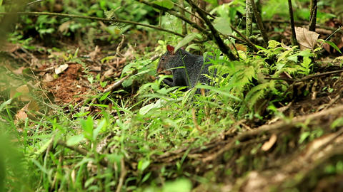 Central American agouti Footage