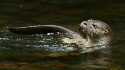 Wild River Otter stock footage
