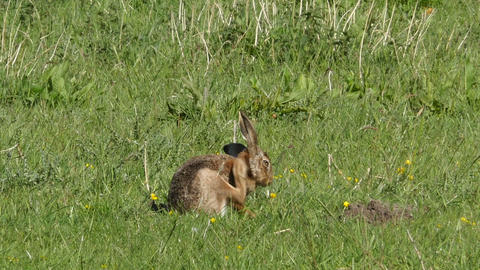Wild Hare Scratching His Fur stock footage