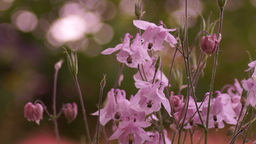Delicate Pink Bell-Shaped Flowers In Wind With Bokeh stock footage