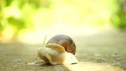 Snail Crawling In Nature, Retired For A Moment In Shell Footage