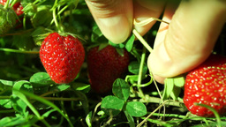Strawberry Collected After Rain stock footage
