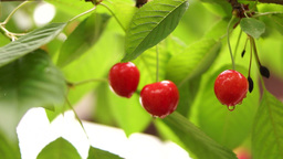Cherry Tree Branch Three Piece Fruit With Water Drops In Soft Wind stock footage