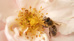 Bee Landing In Pink Rose And After A Short Pollination, Flying stock footage