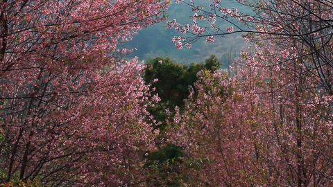Forest Of Pink Sakura Blossoms At Phu Lom Lo Mountain, Thailand : Tilt Up Camera stock footage