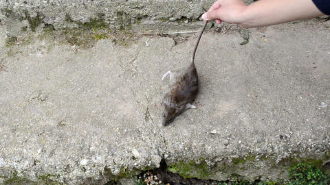 Woman Hand Put Dead Big Rat Lying On Concrete Basement Stair stock footage