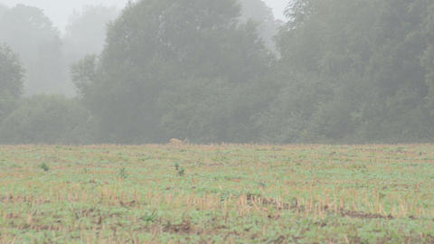 Follow Wild Roe Hind Run Agriculture Field Fog stock footage