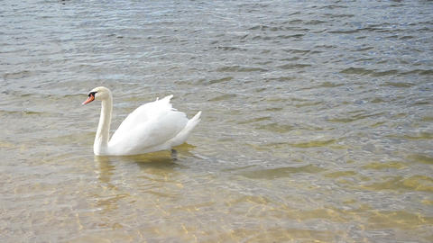 White Swan Bird Swim Ripple Lake Shore Water Sunlight stock footage