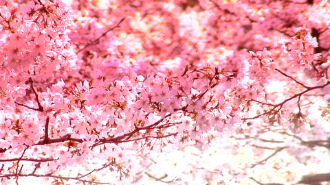 Sakura Long stock footage