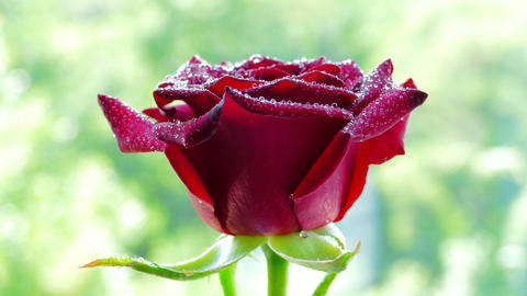 4k, Red Rose Flower Rotates stock footage