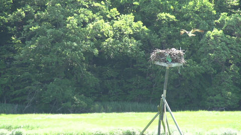 Bird Landing In Nest stock footage