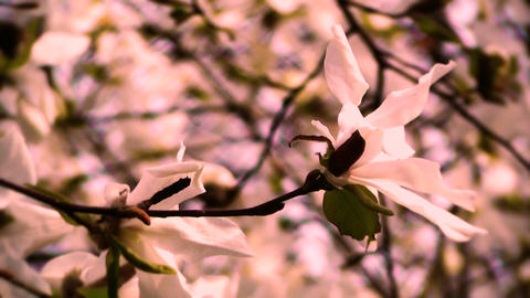 Liriodendron Tulip Tree 16 Spring Stylized stock footage