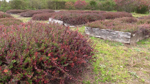 Cranberry Mossberry Berry Plants Grow In Farm Garden Plantation stock footage