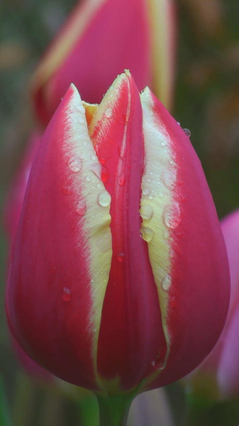 Tulipa World\'s Favourite Footage