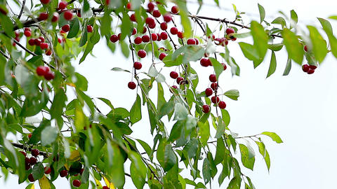 Cherries On A Branch stock footage
