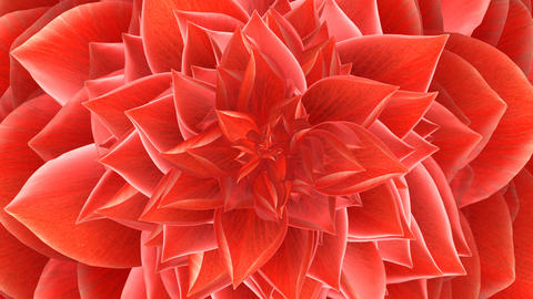 Opening Of The Red Flower. Looped stock footage