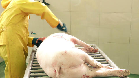 Manual Pig Scraping To Remove Leftover Hair stock footage