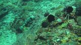 Black-spotted porcupinefish Footage