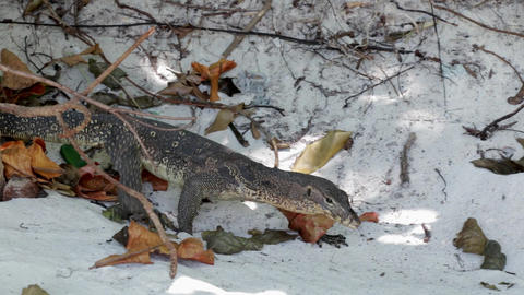 Monitor lizard walking to find food on sand among dried leaves Footage