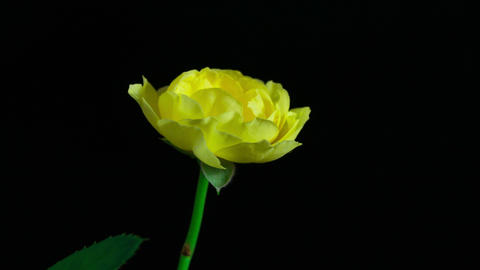 4K Time Lapse blooming yellow rose in the dark Footage
