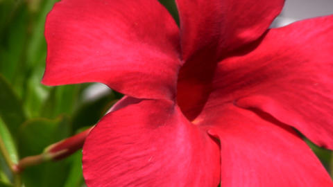 Close-up of brilliant red mandevilla flower in bright sunlight Footage