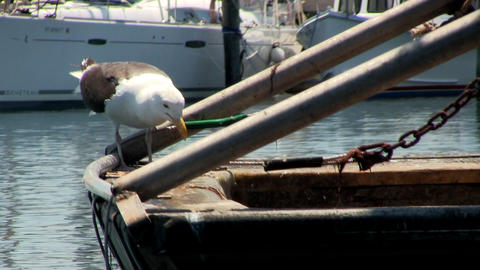 Seagull Stands On Back Of Fishing Boat Eating Raw Fish In Menemsha Fishing Villa stock footage