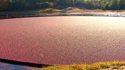 Glistening Cranberries; Pan LR Footage