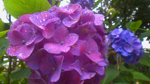 Overlapping Bright Purple Hydrangea Flowers That Each Swaying At Rainy stock footage