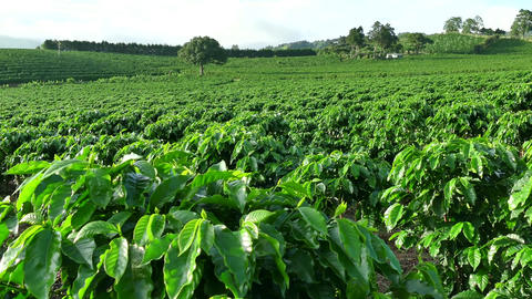 Plantation Cultivation Agriculture Farming Coffee Plants Field In Costa Rica stock footage