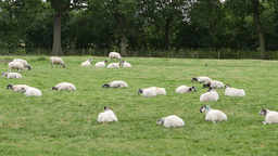 Flock Of Sheep Rest In Farmer's Field stock footage