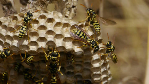 Wasps stock footage