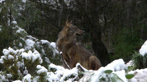 Iberian Wolf Snowing stock footage