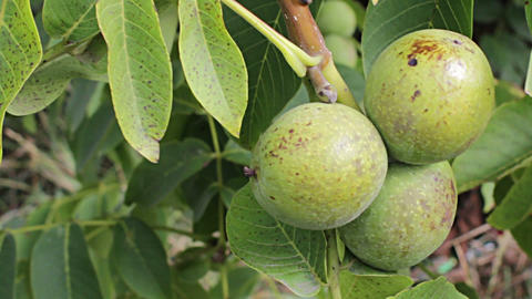 Walnut Ripe Nuts stock footage