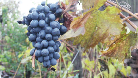 Bunch Of Red Wine Grapes stock footage
