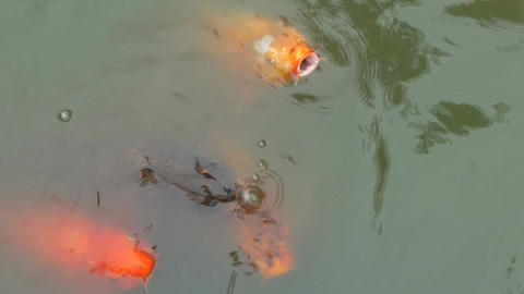 Colorful Koi Fish stock footage