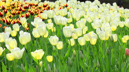 Delicate Couloured Tulips stock footage