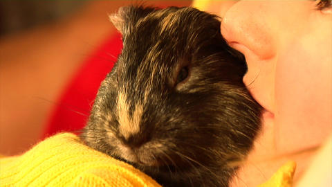 Yawning Guinea Pig stock footage