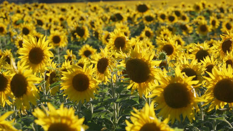 Big Field With The Blossoming Sunflowers Lit With The Sun stock footage